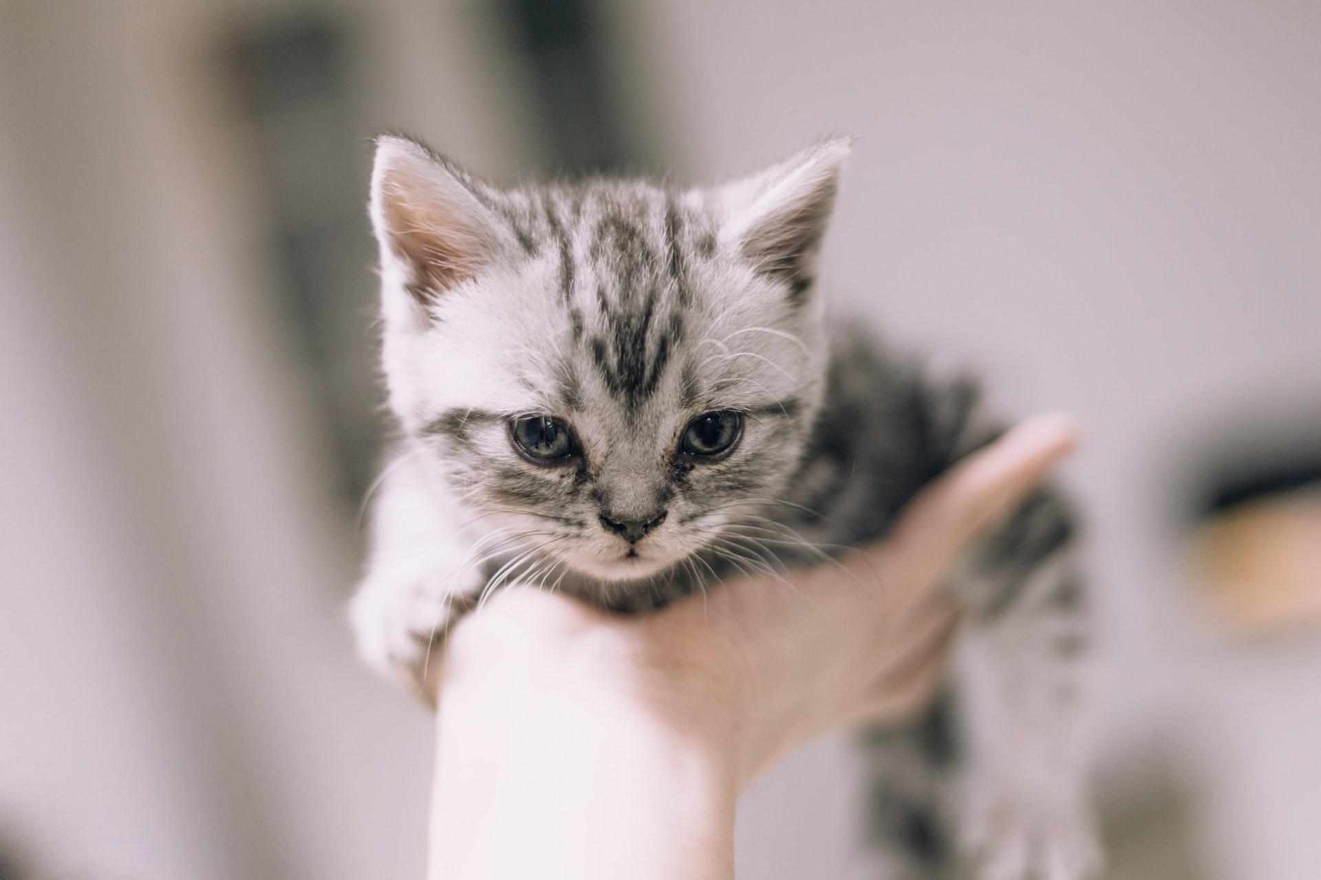 gato pequeño en la mano
