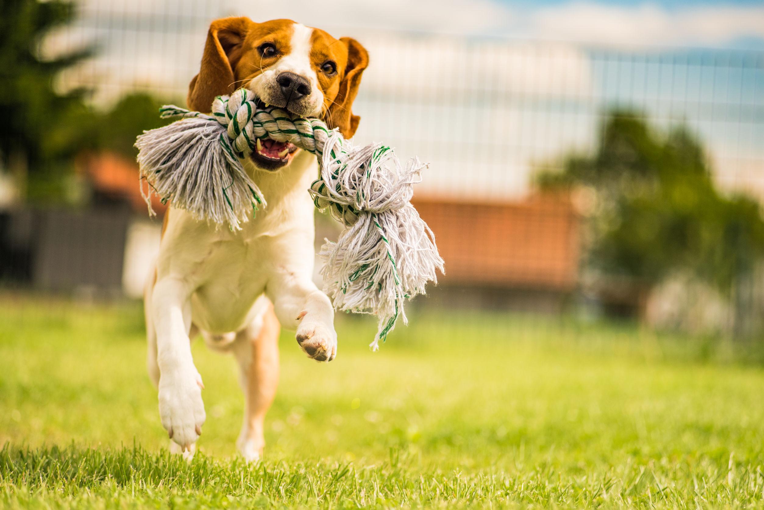 Perro Beagle corriendo en el jardín con un juguete