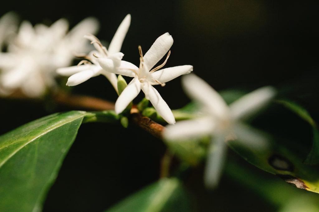 Planta de café Arabica